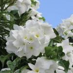 Flowers of Barths III
