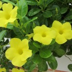 Flowers of Barths IV