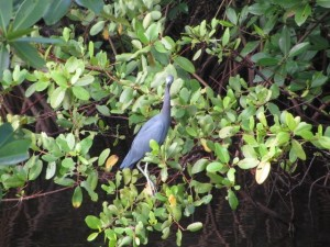 Blue heron in the mangrove.