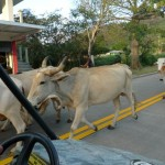 Just as we were coming into town to complete our circumnavigation, we encounter this herd of cows on the main road. That explains all the cow pies we'd seen on the road earlier.