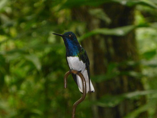 A hummingbird, Boquete.