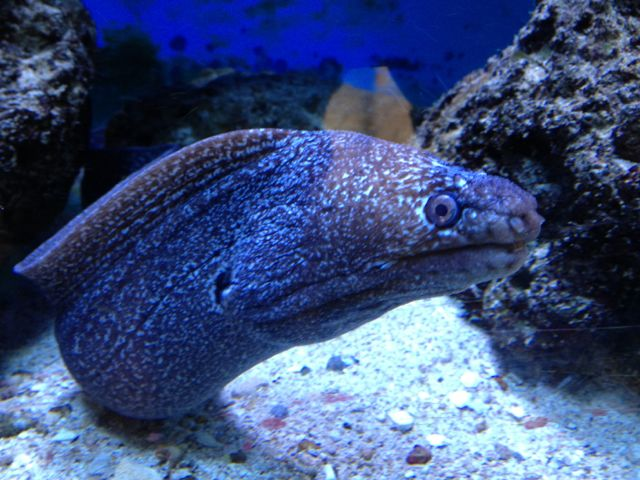 Face-to-face with a moray eel at the Smithsonian aquarium.