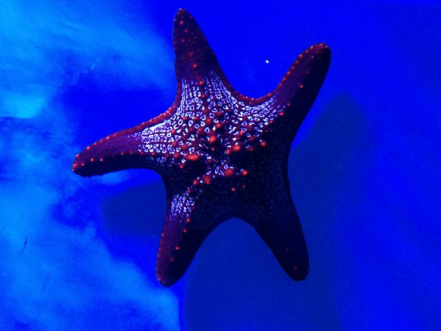 A Pacific starfish -- very different coloration from those in the Caribbean.