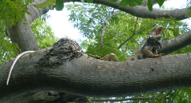 One lazy yawning iguana in a tree.