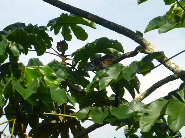There is monkey in this tree. They are hard to spot and even harder to photograph.
